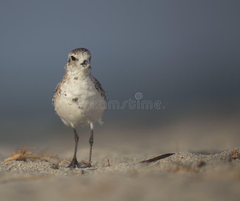 Bellied siewka przy plażą zdjęcia stock