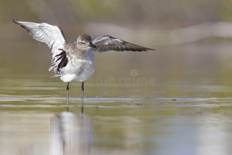 Bellied siewka rozciąga swój skrzydła póżniej ma skąpanie w płytkim stawie przy fortu Myers plażą Floryda obrazy stock