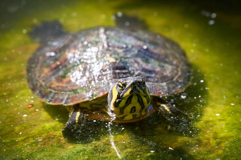 Bellied suwaka żółwia Trachemys scripta scripta fotografia stock