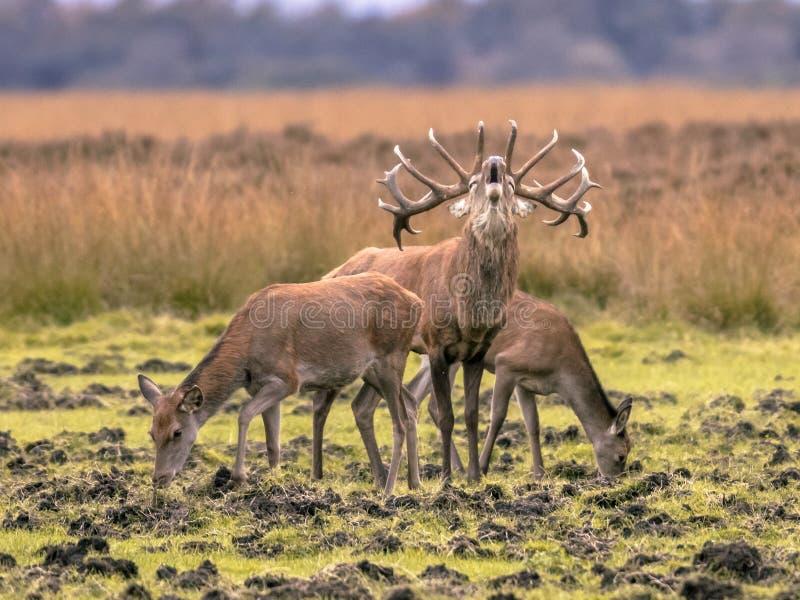 Belling samiec strzeżenia jelenie łanie obraz stock