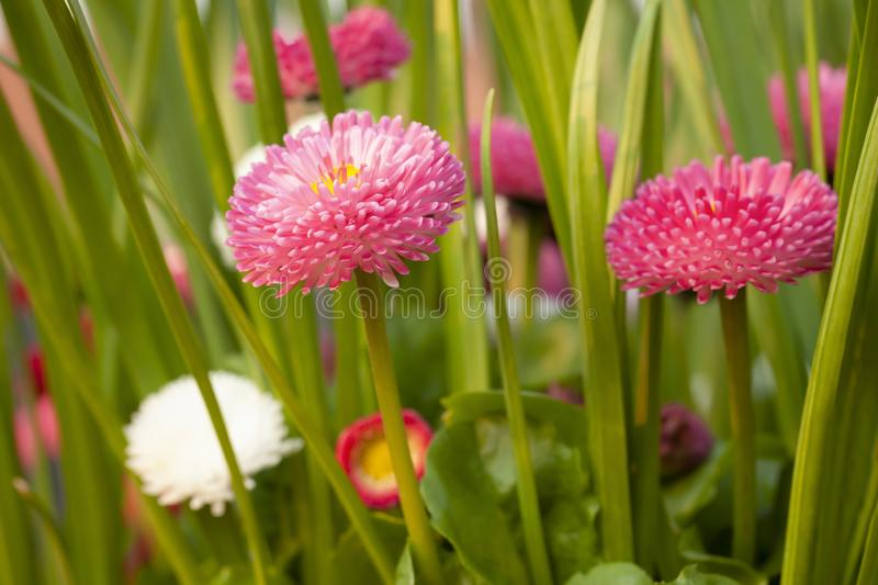 Bellis daisies in spring time closeup. Spring daisy flowers close up with red and pink colors. Bellis perensis daisy plants and green shoots in evening sun royalty free stock photos
