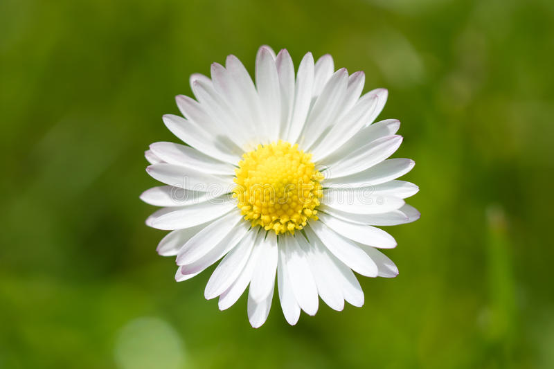 Bellis flower in a lawn. Close up photo of one bellis flower in a lawn seen from above with the blurred lawn in the background stock image