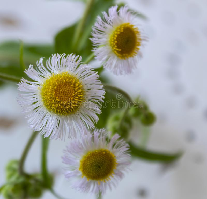 Bellis is a genus of flowering plants in the sunflower family. Is a early flowering plant royalty free stock images