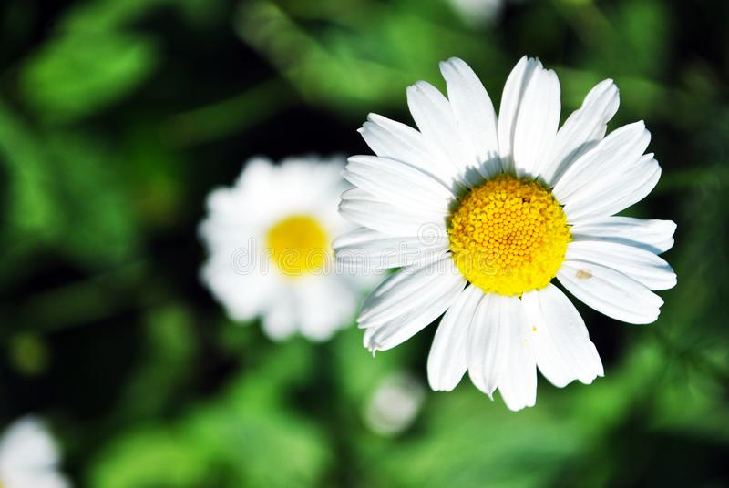 Bellis perennis common daisy, lawn daisy or English daisy two flowers and buds, green leaves background, soft blurry shadows royalty free stock photography