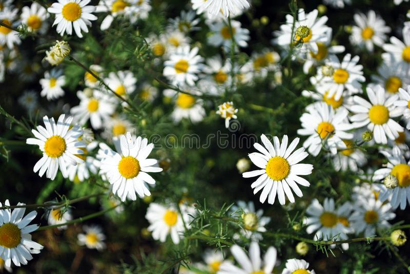 Bellis perennis common daisy, lawn daisy or English daisy flowers and buds, green leaves background, soft blurry bokeh. Top view stock photo