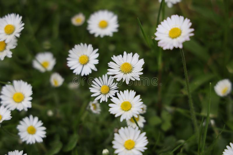 Common daisy in spring. Bellis perennis is a common European species of daisy, of the Asteraceae family, often considered the archetypal species of that name royalty free stock photo