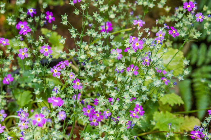 Bellis Perennis de la margarita común - angioespermas Eudicots Aste de Plantae imagen de archivo libre de regalías