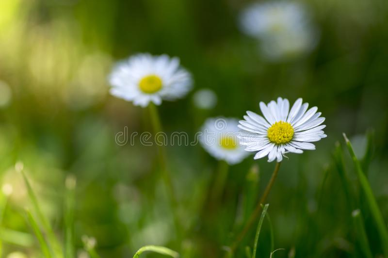 Bellis perennis flowers in bloom, lawn full of daisies, wild beautiful small flowering plant with white pink petals. Bellis perennis flowers in bloom, lawn full royalty free stock image