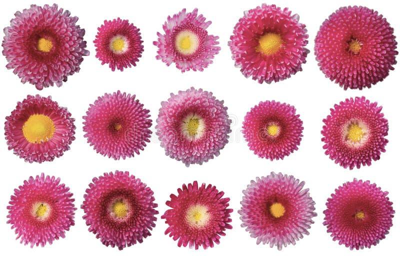 Bellis perennis jest fioletowym gatunkiem stokrotki Dołączono oddzielne polecenie ping obraz stock