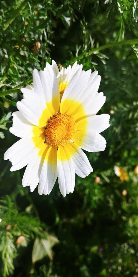 Bellis perennis kwiaty obraz royalty free