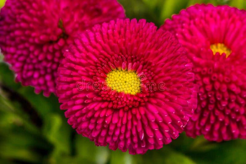 Bellis perennis Stokrotka kwitnie na zielonym tle fotografia royalty free