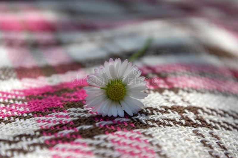 Bellis perennis wild beautiful flower in bloom, flowering plant on pink white picnic blanket, white petals with yellow center. Bellis perennis wild beautiful stock photos