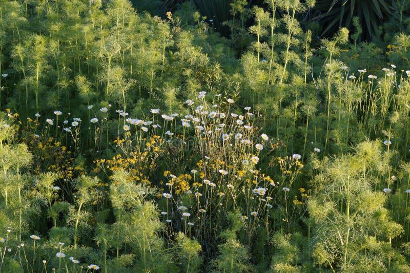 BellisPerennis blommor som en bakgrund arkivfoto