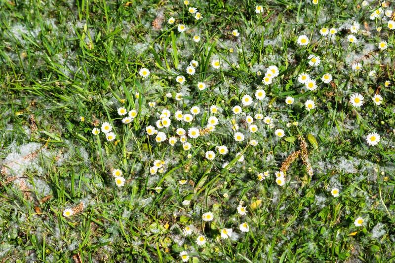 Bellisperennis för gemensamma tusenskönor som växer i gräs med en beläggning av pilfrö royaltyfria foton