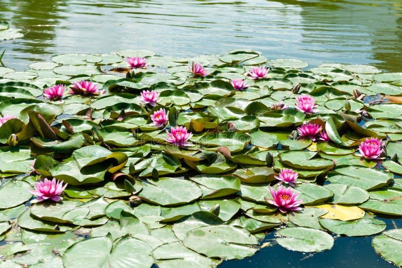 Bellissima copertura di lago con lilla rosa immagine stock