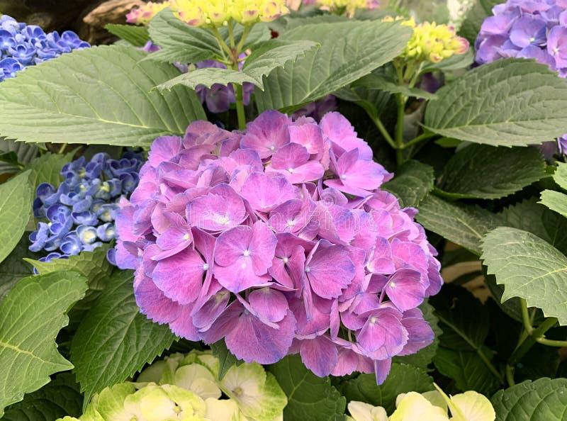 Bellissima fioritura di hydrangea rosa immagini stock