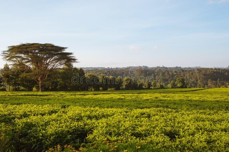 Bellissima vista di un campo verde e di alberi meravigliosi sotto il cielo azzurro catturati a Nairobi, Kenya fotografie stock libere da diritti