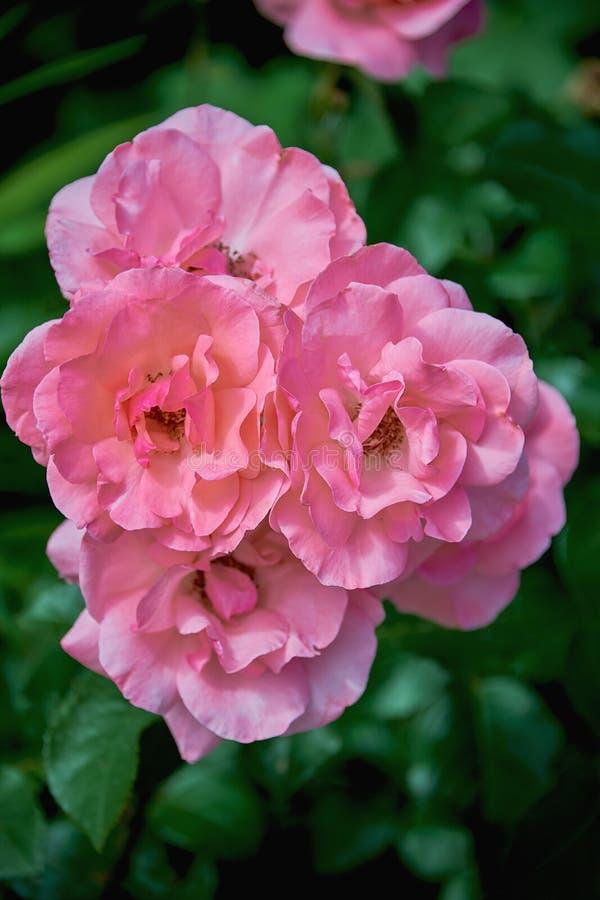 Bellissime e delicate rose rosa che si chiudono su uno sfondo verde scuro Rose cresce su un cespuglio d'estate immagini stock