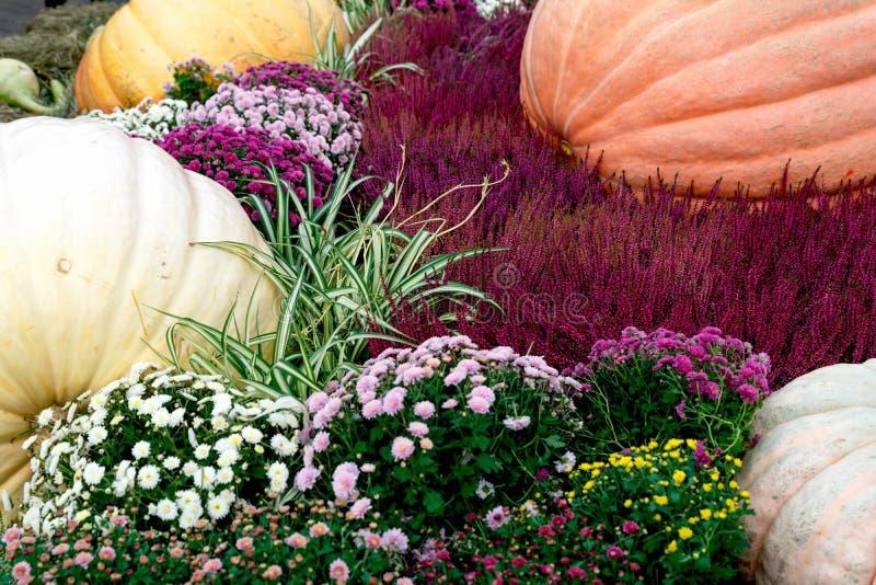 Bellissime zucche mature Festival del raccolto Coltivatori collettivi in autunno raccolgono favoloso fondo autunnale con zucche fotografia stock libera da diritti