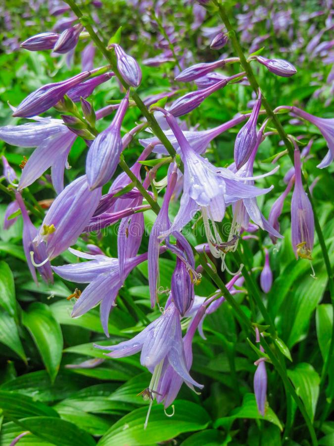 Bellissimi fiori viola Host per decorare i bordi fotografia stock libera da diritti