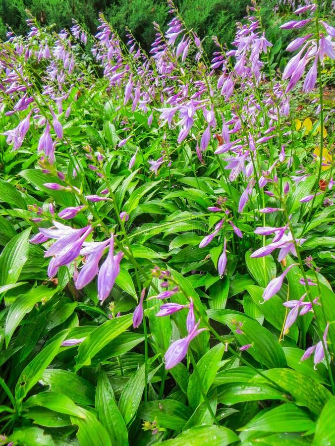 Bellissimi fiori viola Host per decorare i bordi fotografia stock