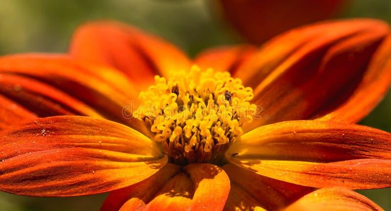 Bellissimo fiore d'arancia in primavera con fondo verde immagini stock