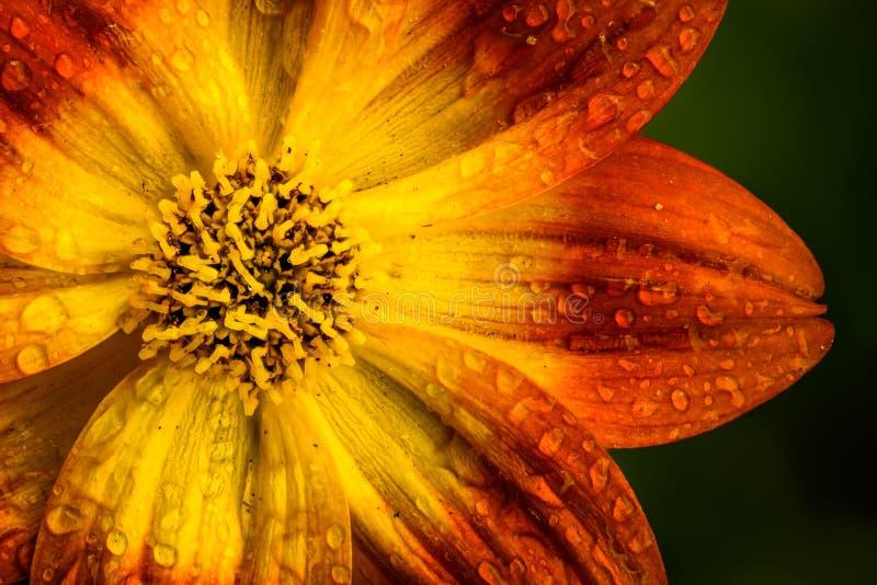 Bellissimo fiore d'arancia in primavera con fondo verde fotografia stock libera da diritti