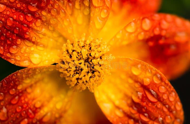 Bellissimo fiore d'arancia in primavera con fondo verde fotografia stock