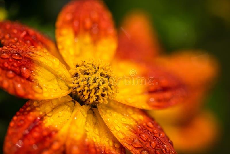 Bellissimo fiore d'arancia in primavera con fondo verde fotografie stock
