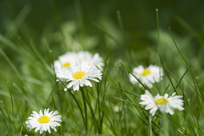 bellistusenskönaengelska blommar perennis arkivfoto