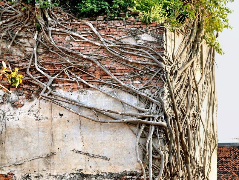 Bellman i drzewa korzenie zdjęcia stock