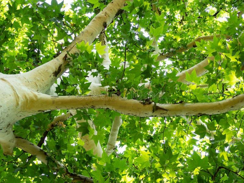 Bello albero bianco del sicomoro con le foglie verde intenso fotografia stock libera da diritti