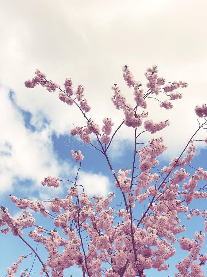 Bello albero con la fioritura dei fiori di ciliegia rosa fotografia stock