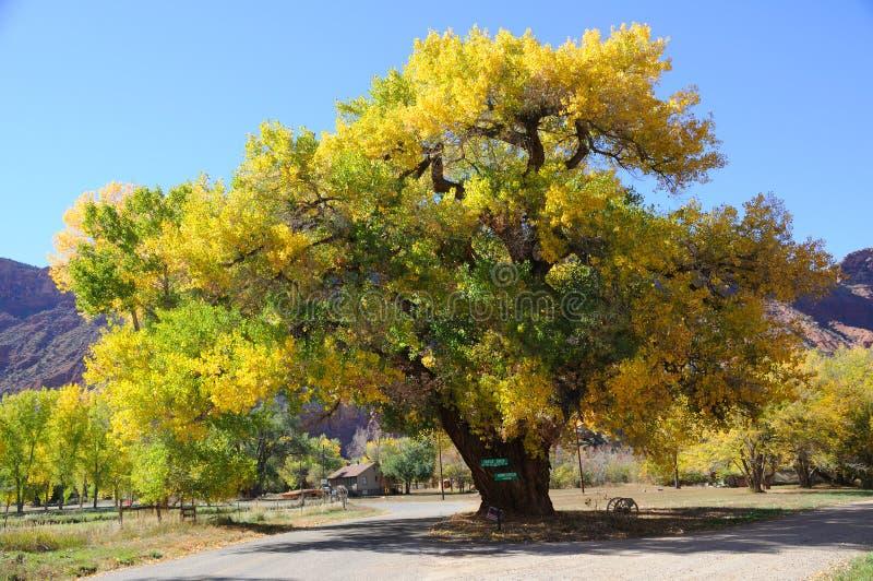 Bello albero del Cottonwood in autunno fotografia stock libera da diritti