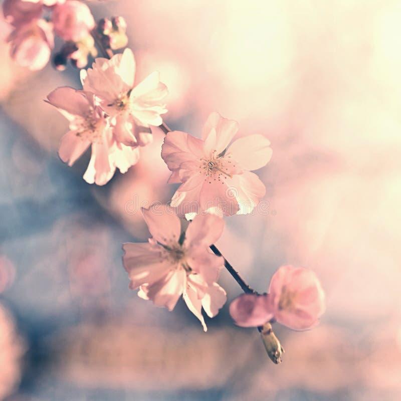 Bello albero del fiore Scena della natura con il sole il giorno soleggiato Piovuto appena sopra Fondo vago estratto nella primave fotografia stock
