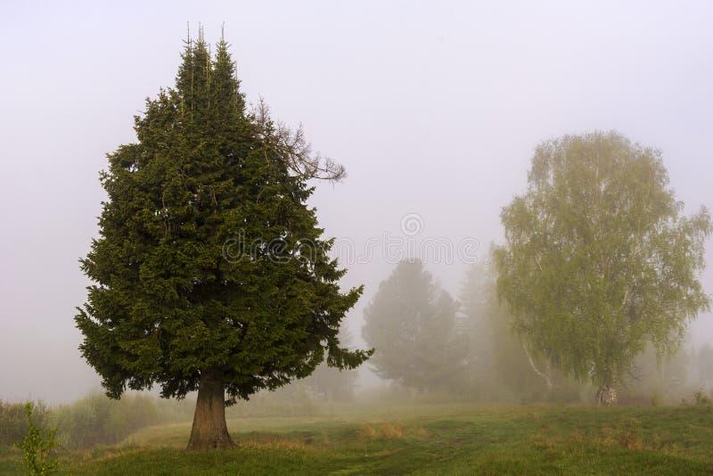 Bello albero di abete nella nebbia fotografia stock