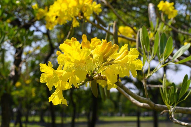 Bello albero di aurea di Tabebuia in Tailandia immagine stock