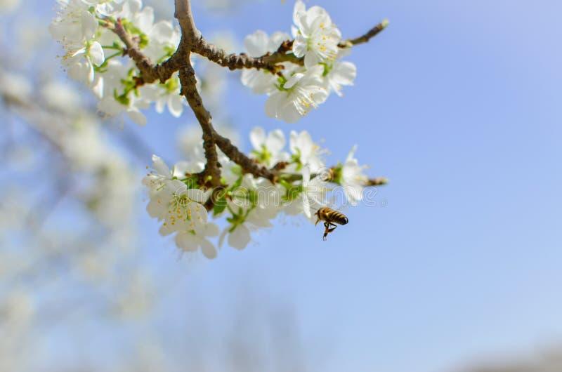 Bello albero di fioritura e un'ape in volo immagine stock libera da diritti