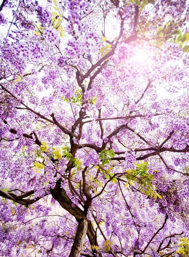 Bello albero di glicine fotografia stock