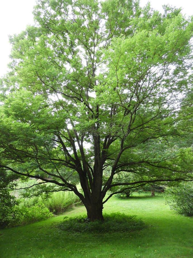 Bello albero di locusta nera a Cornell Botanical Gardens immagine stock libera da diritti