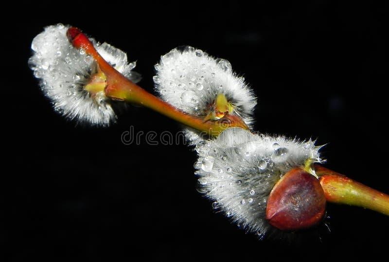 Bello albero di salice dopo una pioggia calda di notte fotografia stock libera da diritti