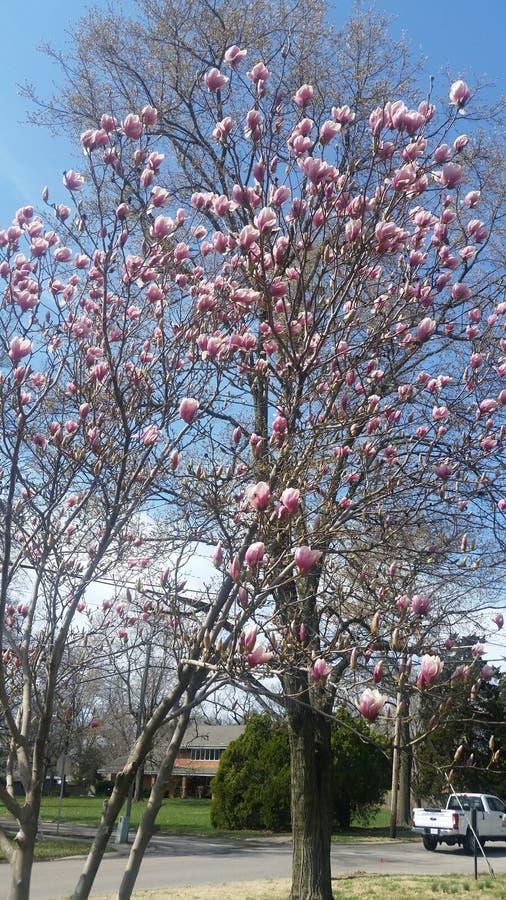 Bello albero in primavera fotografia stock