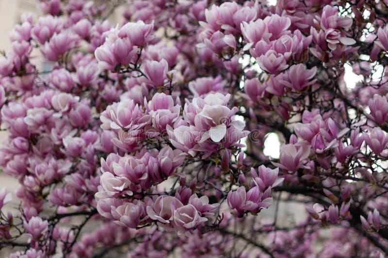 Bello albero rosa di fioritura della magnolia Priorit? bassa floreale fotografia stock