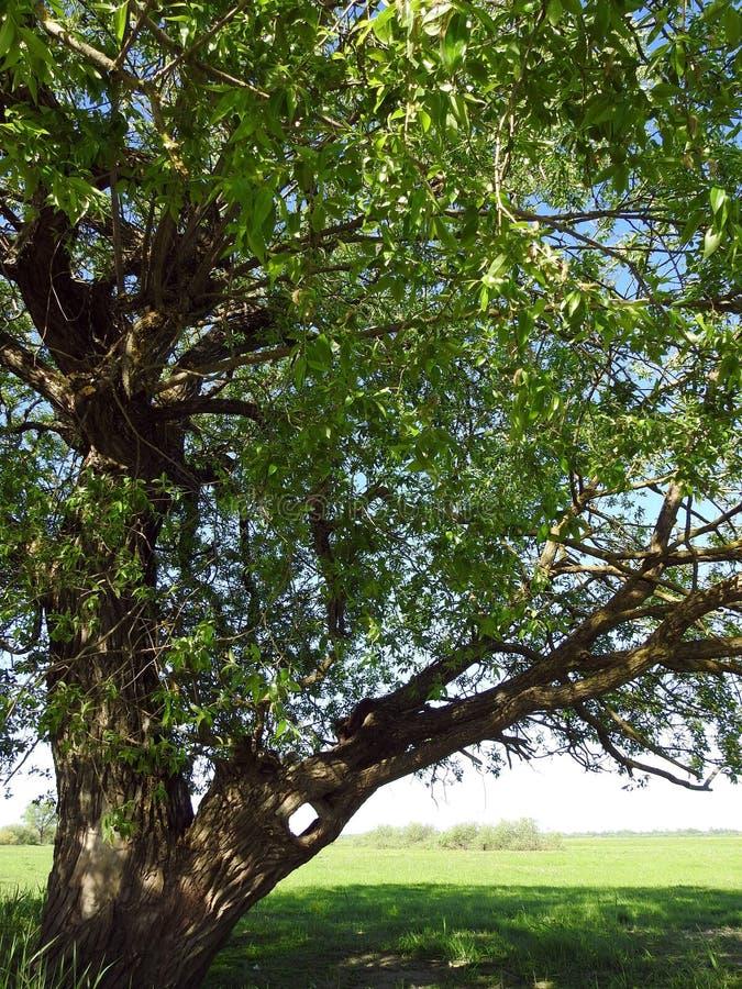 Bello albero verde nel campo, Lituania fotografie stock