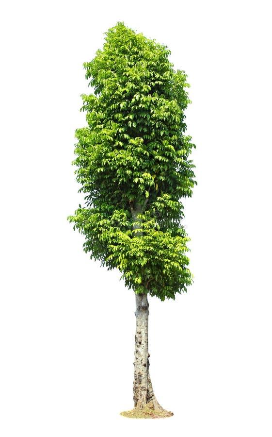 Bello albero verde su un fondo bianco nell'alta definizione immagini stock
