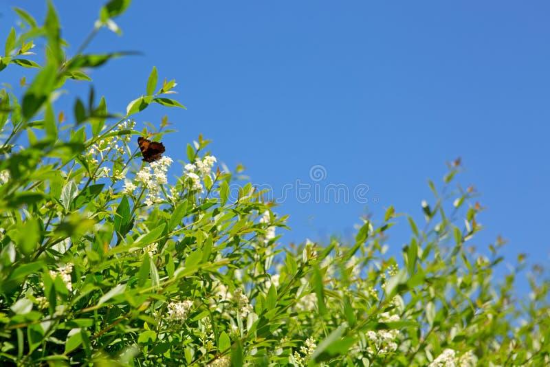 Bello alimentarsi della farfalla fiori bianchi Macro farfalla contro cielo blu immagine stock