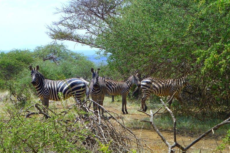 Bello animale del Kenya - la famiglia della zebra immagine stock libera da diritti