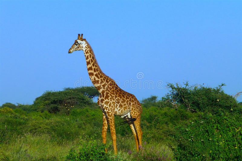 Bello animale del Kenya - la giraffa immagine stock