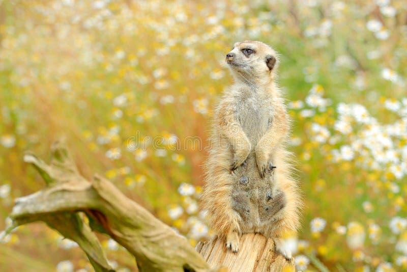 Bello animale nell'habitat della natura Scena della fauna selvatica dalla natura, immagine divertente Meerkat sveglio, suricatta  immagine stock libera da diritti