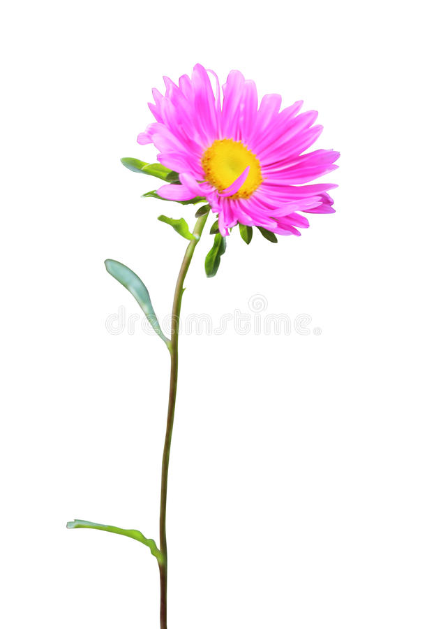 Bello aster rosa immagine stock